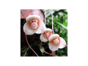 orchid looks like a monkey