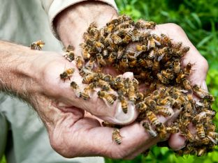 Bees in Burt Hands Close-up.jpg