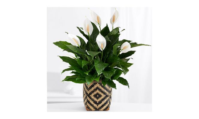 ProFlowers Lily Plant